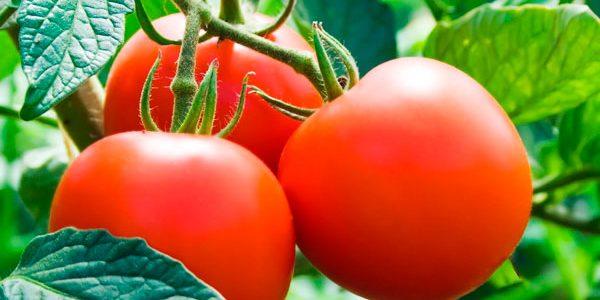 El cuidado del Tomate
